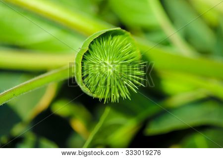 Fresh Green Dhatura Fruit in indian farm poster