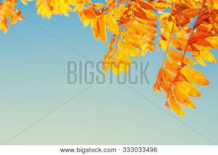 Closeup Of Chinese Pistache Tree (pistacia Chinensis) Leaves In Bright Golden Orange And Red Autumn