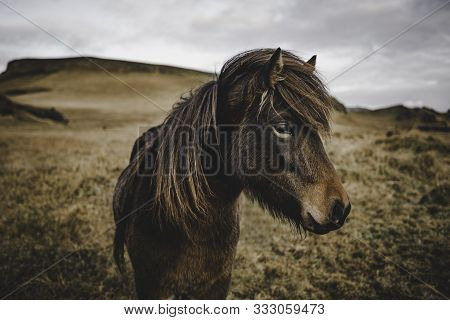 Wild And Free Horses In Northern Iceland Living Together In Peace In A Natural Environment