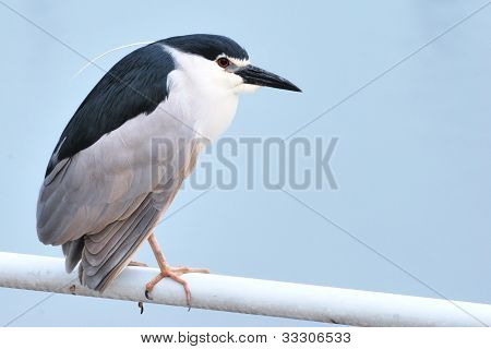 Black-crowned Night Heron(Nycticorax nycticorax)