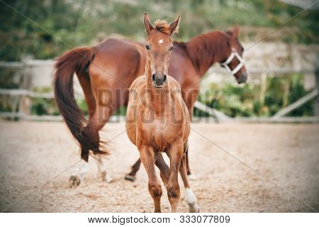 A Frisky Curious Colt Runs Alongside An Unsaddled Mother In A Farm Paddock In A Field In The Summer.