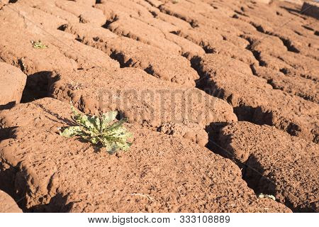 Green Plant On Cracked Dry Earth. Drought. Water Scarcity. Changing Of The Climate