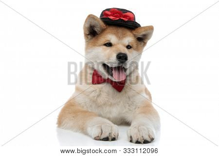 Clumsy Akita Inu sticking out its tongue and looking away while wearing bowtie and a decorated hat, laying down on white studio background