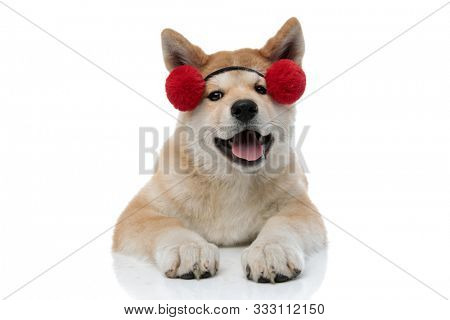 Clumsy Akita Inu panting and looking forward while wearing pair of small earmuffs, laying down on white studio background