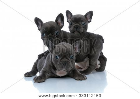 Lovely French bulldog cubs looking around interested while laying down, sitting and standing in front of each other on white studio background