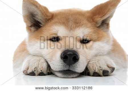Close up of a bored Akita Inu resting while laying down on white studio background