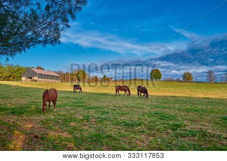 Thoroughbred Horses Grazing In A Field With Horse Barn In The Background.