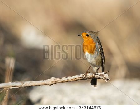 A Cute Little European Robin (erithacus Rubecula) Standing On A Small Branch (isonzo, Italy)