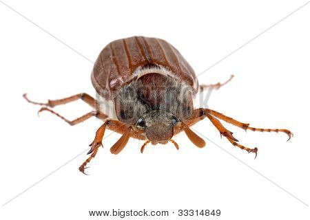 Chafer crawls forward on a white background poster