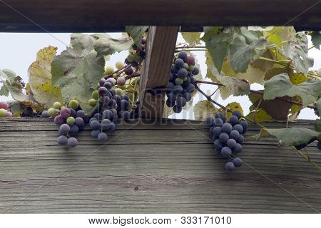 A Wooden Arbor Laden With Dense Clusters Of Ripe, Purple Hanging Grapes In Late Summer