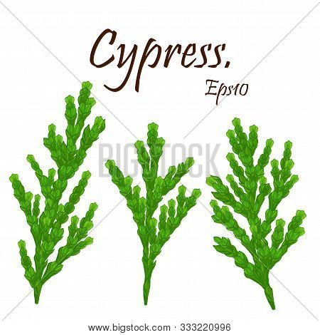 Cypress Twig With Cones Isolated .green Branches Of Thuja With Brown Cones.natural Christmas  Winter