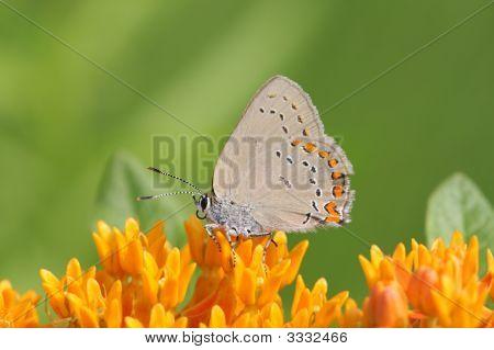 Coral Hairstreak Butterfly (Satyrium Titus)
