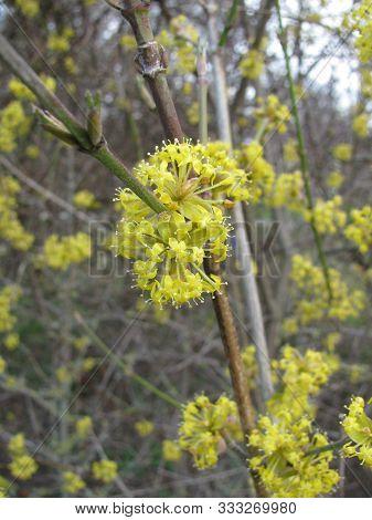 Blooming Cornus Mas (cornelian Cherry) Plant At A Field Border