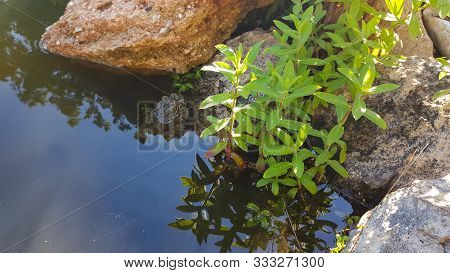 Photo Of A Green Frog Sitting On A Rock In A Garden Pond. Two Frogs In A Pond. Two Frogs Near A Ston