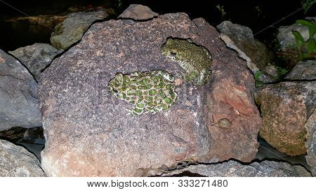 Two Frogs On A Rock At Night. Photo Of A Green Frog Sitting On A Rock In A Garden Pond. Two Frogs In
