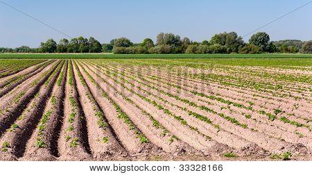 Potatofield In Springtime