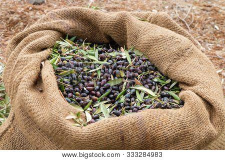 Sackcloth Bag Full On Fresh Olives. Olives Harvesting In Crete, Greece.  Harvest Of Fresh Olives Fro