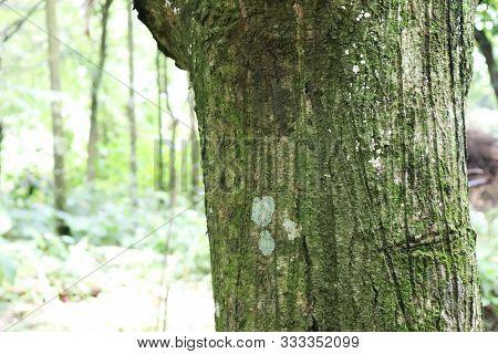 Tree Bark Texture. The Body Of The Tree