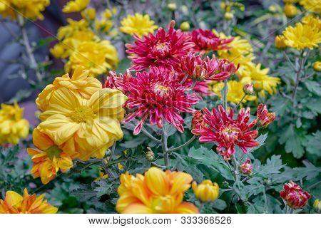 Beautiful Chrysanthemum Flowers Blooming In Garden Leaves Garden Outdoor Red Yellow