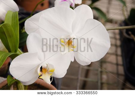 White Phalaenopsis Orchid  Flower Tropical Bloom Floral Plant Close Up  Blooming Beautiful