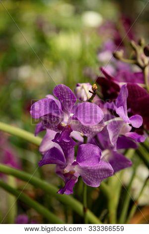Purple Vanda Orchid Flowers Freshness Close Up Plant Violet Garden Macro Beautiful