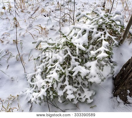 The Branches Of Two Small Fir Trees And The Snow On Them Create An Intricate Pattern. Around The Fir