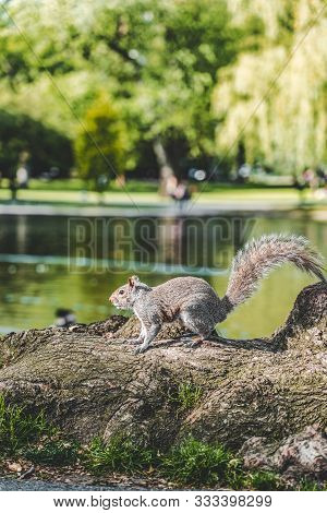 A Squirrel Eating Nuts On The Grass With Sunlihgt In Boston Public Garden