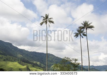 Cocora Valley Landscape, With Quindio Wax Palms, Ceroxylon Quindiuense, National Tree Of Colombia.