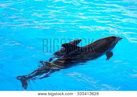 A Charming Dolphin Baby Swims With His Mom Dolphin In Pool. Two Dolphins Enjoing Together. Dolphin W