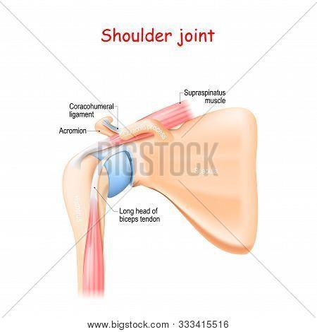 Shoulder Joint Anatomy. Bones (scapula, Humerus, Coracoid Process, Acromion , Muscle (biceps, Supras