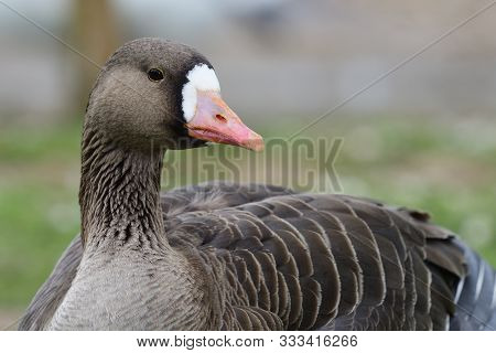 Close Up Of A Greater White Fronted Goose (anser Albifrons)