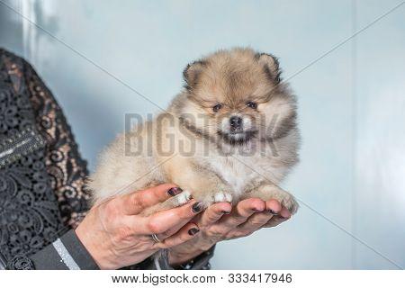 Cute Puppy Of Miniature Pomeranian Spitz Zwergspitz Or Dwarf Spitz White-cream Color On A Chair. Sma