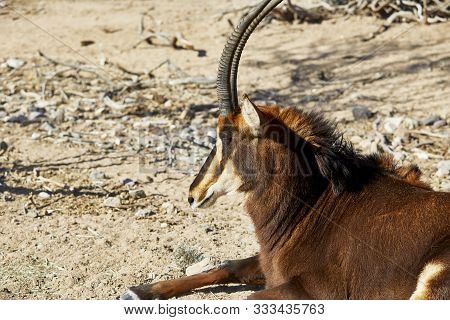 Profile Of A Sable Antelope Laying Down