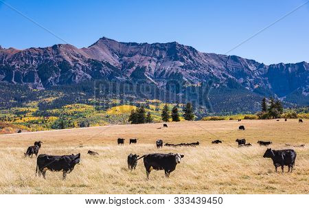 Grazing Cattle With Mountain Scenery. Golden Leaves Of Aspen Trees In The Beautiful Rocky Mountains