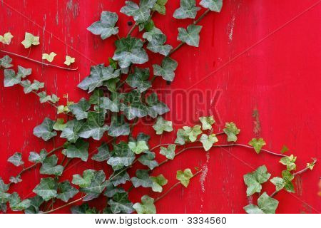 English Ivy On Bright Red Painted Wall