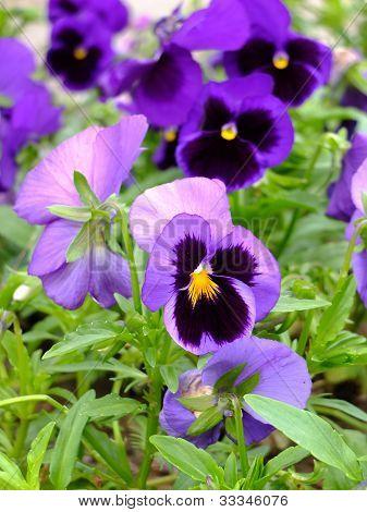Violets in the garden