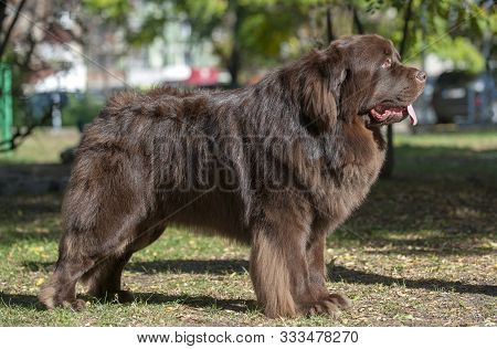Cute Brown Newfoundland Dog In The Park.