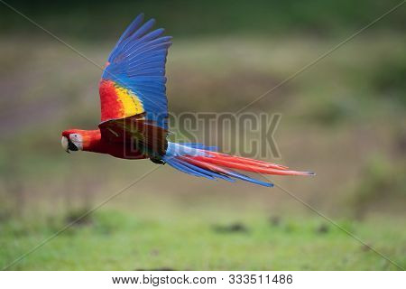 Ara Macao, Scarlet Macaw The Parrot Is Flying In Nice Natural Environment Of Costa Rica