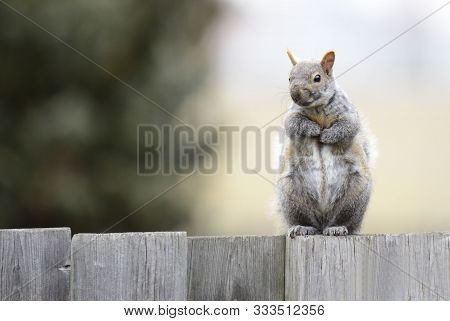 Gray Squirrel With Fluffy Fur Close-up On A Wooden Fence.