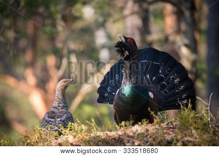 The Western Capercaillie Tetrao Urogallus Also Known As The Wood Grouse Heather Cock Or Just Caperca