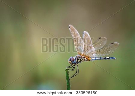 Dragonfly Hold On Dry Branches And Copy Space .dragonfly In The Nature. Dragonfly In The Nature Habi