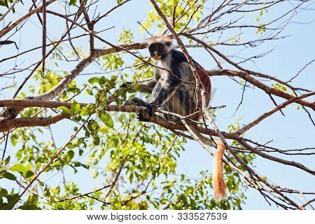 Zanzibar Red Colobus Sitting On A Tree Watching Front