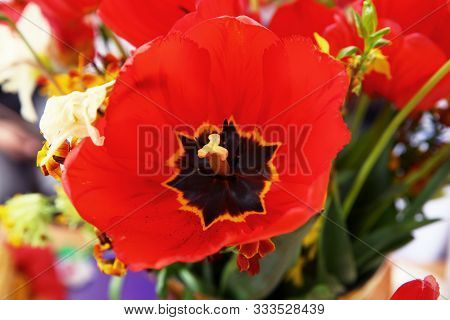 Background Of Blooming Poppy Flowers With Open Buds On The Field. Poppy Grows In The Ground. Macro P