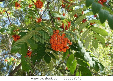 Panicle Of Orange Berries Of Sorbus Aucuparia In September