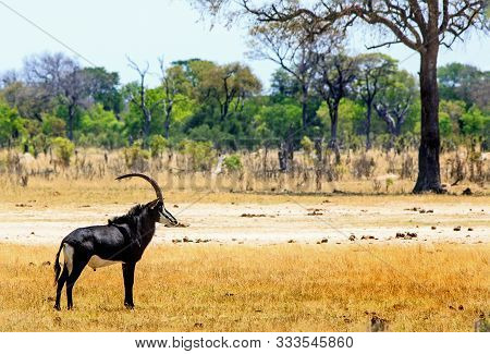 Beautiful Male Sable Antelope With Long Ridged Horns Standing On The African Plains In Hwange Nation
