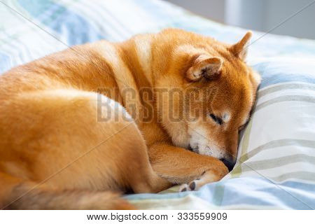 Pet Dog Sleeping Comfortably And Curled Up On The Bed