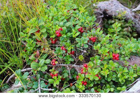 Wild Berry Cranberries Vaccinium Vitis Idaea. Ripe Wild Lingonberries. Wild Berry Cranberries. Lingo