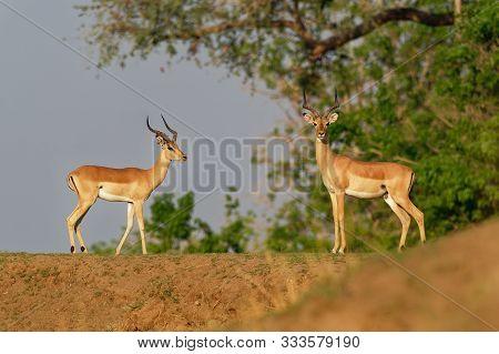 Impala - Aepyceros Melampus Medium-sized Antelope Found In Eastern And Southern Africa. The Sole Mem
