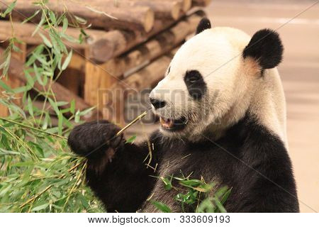 Fuzzy, Cuddly Baby Panda Bear busy eating his Luscious Bamboo Dinner. poster