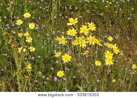 California Goldfields And Common Storksbill Wildflowers Blooming, Carrizo Plain, San Luis Obispo Cou